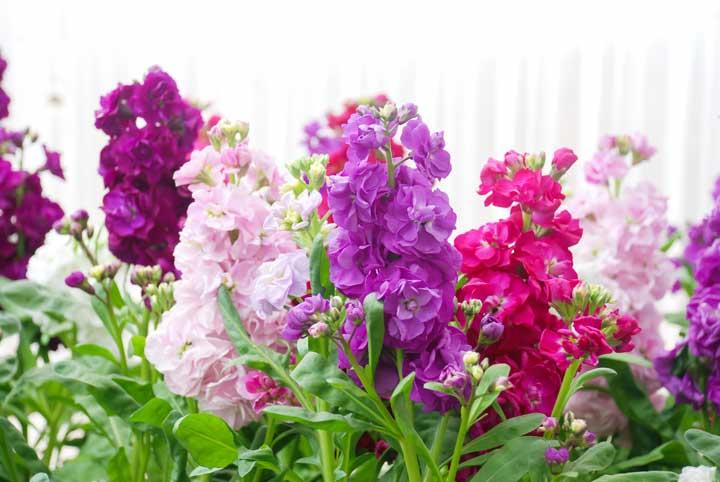 https://www.gardenworks.ca/files/images/stocks-matthiola-incana-flower-stock-flowers-cut-flowers-nursery.jpg